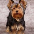 Puppy of Yorkshire Terrier — Stock Photo #13179205