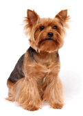 Den yorkshire terrier — Stockfoto