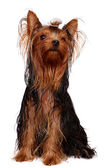 Young Yorkie with oily hair — Stock Photo