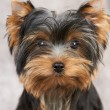 Portarait of Yorkshire Terrier — Stock Photo #13265563
