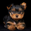 Puppy of the Yorkshire Terrier on black — Stock Photo