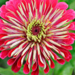 Closeup of nice flower (Zinnia) - Stock fotografie