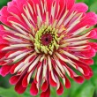 Closeup of nice flower (Zinnia) -  
