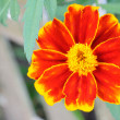 Closeup of bright flower (tagetes) - Stock Photo