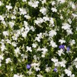 White small flowers background (lobelia) - Stockfoto