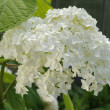 Closeup of white flower (hydrangea) - Stock Photo