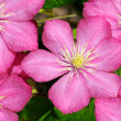 Small group of beautiful flowers (clematis) - Stock Photo