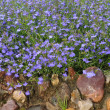 Blue flowers background (lobelia) - Stock Photo
