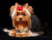 Beautiful Yorkshire Terrier — Stock Photo