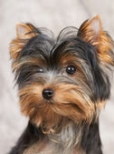 Portarait of the Yorkshire Terrier — Stock Photo