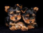 Dois filhotes de yorkshire terrier em preto — Foto Stock