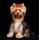 Yorkshire Terrier on black — Stock Photo