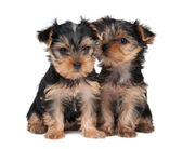 Two puppies — Stock Photo