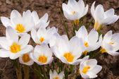 Macro of white crocus flowers — Stock Photo