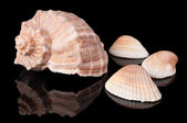 Seashells on black — Stockfoto