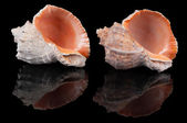 Two seashells on black — Stock Photo