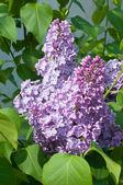 Montón de lila — Foto de Stock