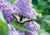 Butterfly on lilac — Stock Photo
