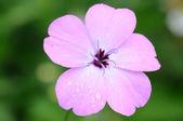 Macro of nice flower (phlox subulata) — Stock Photo