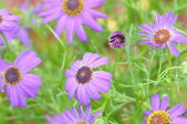 Purple flower background (cosmos) — Stock Photo