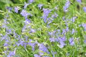 Modré květy pozadí (lobelia) — Stock fotografie