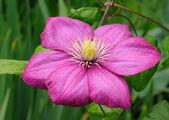 Pink flower (clematis) — Foto de Stock