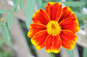 Closeup of bright flower (tagetes) — Stock Photo