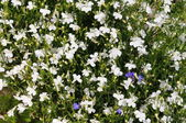 White small flowers background (lobelia) — Stock Photo