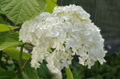 Closeup of white flower (hydrangea) — Stock Photo