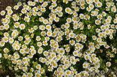Bílé květy malé pozadí (chamomiles) — Stock fotografie