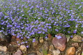 Blue flowers background (lobelia) — Stock Photo