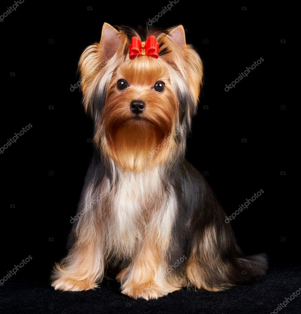Yorkshire Terrier isolated on the black background  Stock Photo #13265639