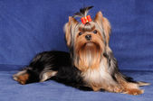 Yorkshire Terrier on blue background — Stock Photo