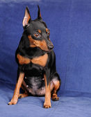 Miniature Pinscher on blue background — Stock Photo