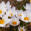 Macro shot of white crocus flowers — Stock Photo
