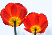Two red flowers — Stock Photo