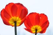Twee rode bloemen — Stockfoto