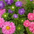 Stock Photo: Callistephus (annual aster)