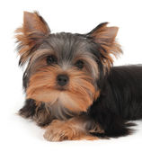 Portrait of the puppy — Stock Photo