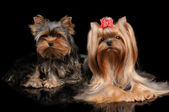 Two Yorkshire Terriers on black — Stock Photo