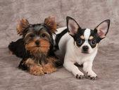 Yorkshire terrier i chihuahua — Zdjęcie stockowe