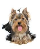 Dog with big tongue — Stock Photo