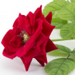 Red rose bud — Stock Photo #19833801