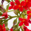 Kalanchoe blooms — Stock Photo #21277767