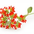 Kalanchoe blooms — Stock Photo #21283363