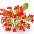 Kalanchoe blooms — Stock Photo #21706893