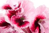 Geranium flower — Stock Photo