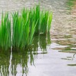Reeds, reflection in the river — Stock Photo #26213245
