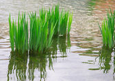 Reeds, reflection in the river — Stock Photo
