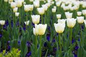 Białe tulipany — Zdjęcie stockowe
